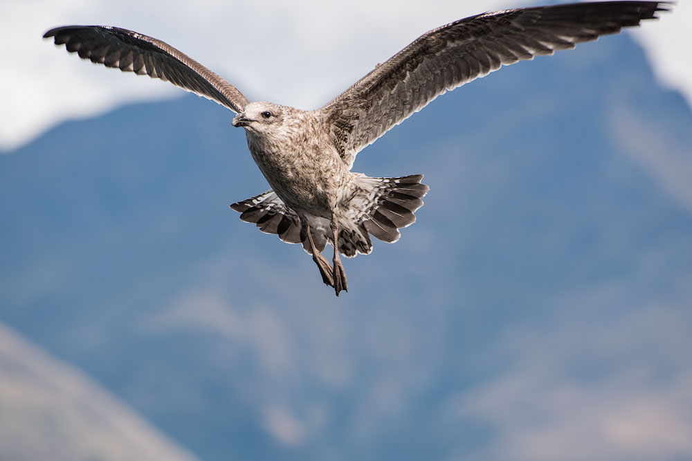 seagull in flight with mountains in background
